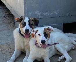 Два щенка подростка в добрые руки - фото 1 к объявлению