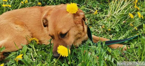 Солнечный пёс- подросток Гучи в добрые руки - фото 1 к объявлению
