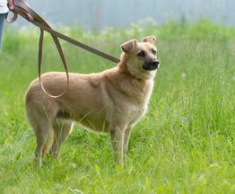 Скромная и добрая собака Милли в добрые руки - фото 1 к объявлению