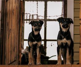 Чудесные щенки Веня и Ассоль ищут дом. - фото 1 к объявлению