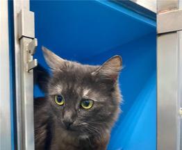 Ласковая кошечка Муля ищет дом. - фото 1 к объявлению