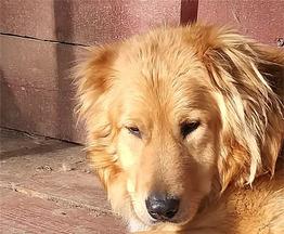 Шикарный пёс Дарий ищет дом. - фото 1 к объявлению