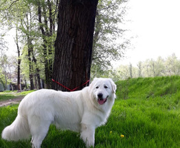 Продаются щенки Маремма-Абруцкой овчарки - фото 1 к объявлению