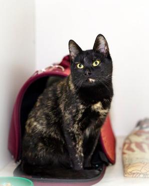 Красивая кошка черепахового окраса в добрые руки - фото 1 к объявлению