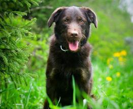 Шоколадная красавица собака Шоко в добрые руки - фото 1 к объявлению
