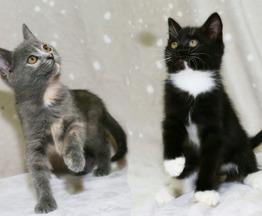 Ласковые котята Рикки и Джесси - фото 1 к объявлению