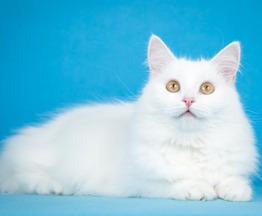 Ласковая белая ангорская кошка Ласточка. - фото 1 к объявлению