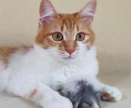 Миниатюрная кошка ищет семью - фото 1 к объявлению