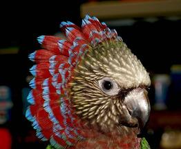 Продается веерный попугай - фотография  к объявлению
