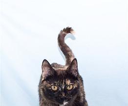 Трёхцветная кошка в добрые руки. - фото 1 к объявлению