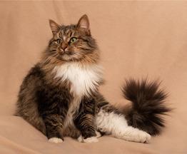 Сибирский котик в добрые руки. - фото 1 к объявлению