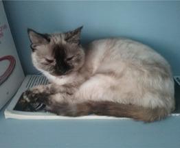 Тайская кошка Нора ищет дом. - фото 1 к объявлению