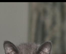 Русская голубая кошка ищет заботливых хозяев - фотография  к объявлению