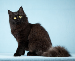 Тучка - пушистая молоденькая черная кошка - фото 1 к объявлению