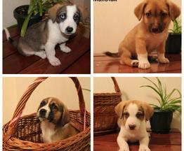 Великолепные щенки в добрые руки - фотография  к объявлению