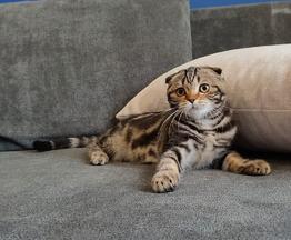 Продаются шотландские котята скоттиш фолд и скоттиш страйт - фото 1 к объявлению