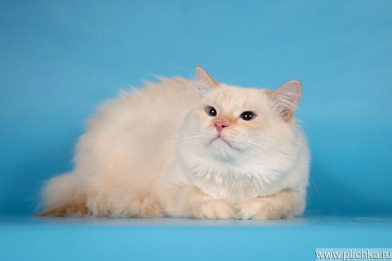 Огромный кот - ласковый котёнок Ронни. - фото 1 к объявлению