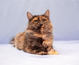 Красивая, трёхцветная, пушистая кошка Маша в добрые руки. - фото 1 к объявлению