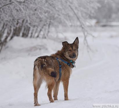Молодая собачка Динга ищет семью. - фото 1 к объявлению