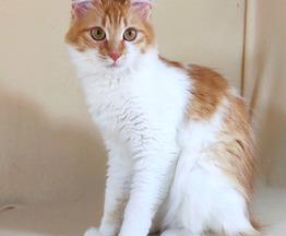 Миниатюрная кошка ищет дом - фото 1 к объявлению