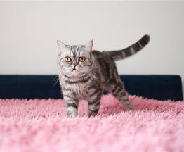 Кошка породы Экзот в добрые руки. - фото 1 к объявлению