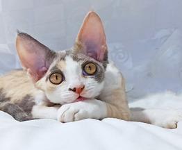 Продаются котята девон-рекс. - фото 1 к объявлению