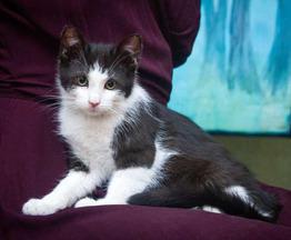 Котенок Чарли ищет дом - фото 1 к объявлению