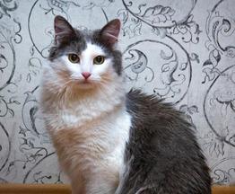 Ищет дом потрясающая красавица кошка Луна - фотография  к объявлению