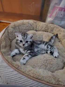 Продается шотландская прямоухая кошка (скоттиш-страйт) - фото 1 к объявлению