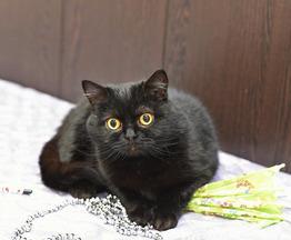 Роскошная кошка Исабель - фото 1 к объявлению
