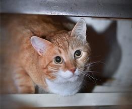 Ищет свое счастье кот Рыжик. - фотография  к объявлению
