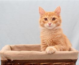 Рыжий котёнок Лисик в добрые руки - фото 1 к объявлению