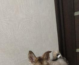 Продаются щенки западно-сибирской лайки - фотография  к объявлению