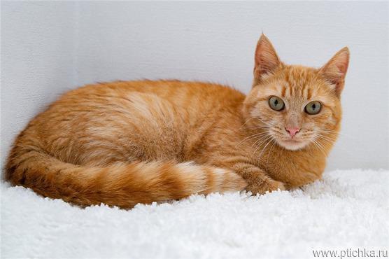 Рыжая кошка в добрые руки. - фото 1 к объявлению