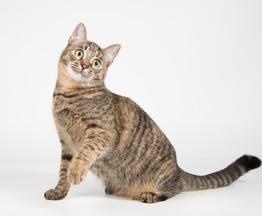 Котенок-девочка, ласковая игрунья Стеффи. - фото 1 к объявлению