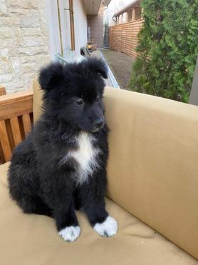 Щенки от маленькой собаки - фото 1 к объявлению