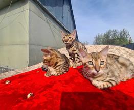 Бенгалы котята - фото 1 к объявлению