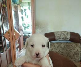 Продам щенка - фото 1 к объявлению