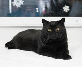 Роскошный кот-бегемот Франт ищет дом! - фото 1 к объявлению