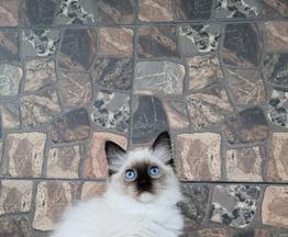 котята регдолл - фото 1 к объявлению
