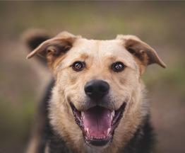 Чудесный пёс Дэнвер в добрые руки. - фото 1 к объявлению