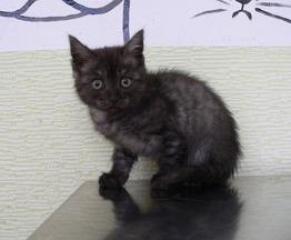 Котенок Шанель с уникальным окрасом ищет семью. - фото 1 к объявлению