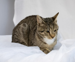 Кошка ищет заботливых хозяев - фото 1 к объявлению