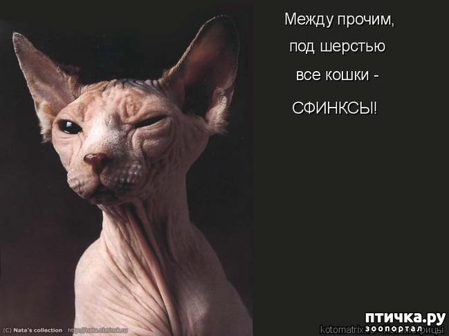 фото 2: Смешные котоматрицы про СФИНКСОВ