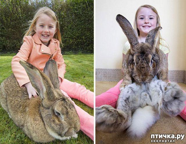 фото 1: Вот как выглядит самый большой в мире кролик