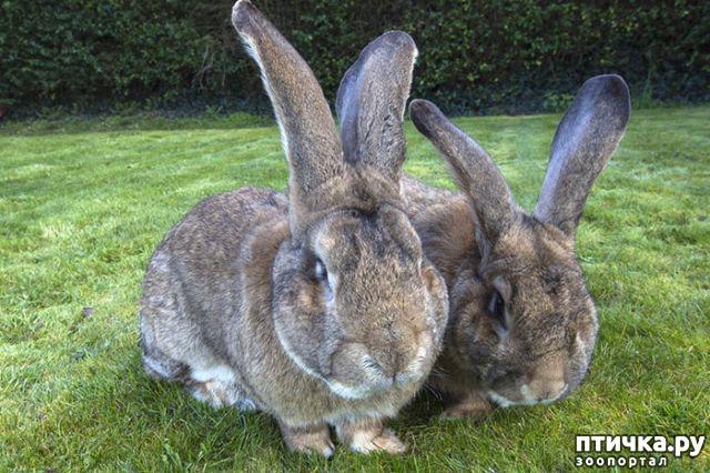 фото 2: Вот как выглядит самый большой в мире кролик
