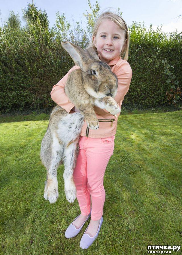 фото 3: Вот как выглядит самый большой в мире кролик