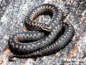 фото: Как выглядит змея гадюка?