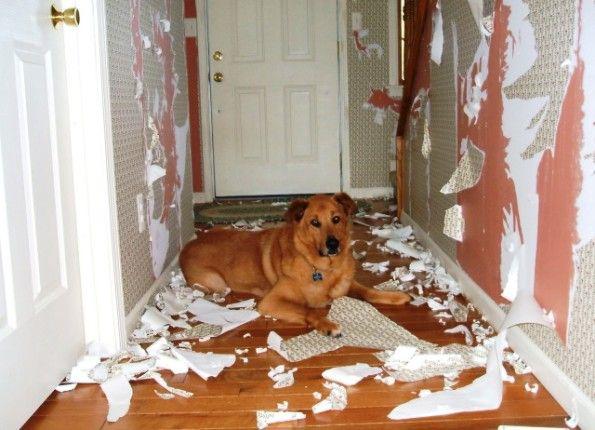 фото 1: Собака в квартире - быть или не быть?