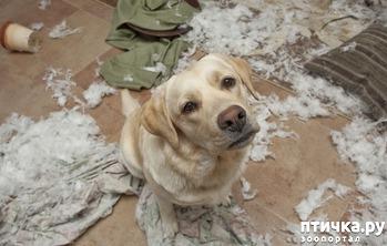 фото: Собака в квартире - быть или не быть?